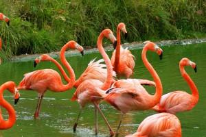 Куба родина фламинго